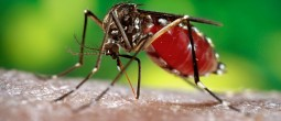 tigrasti komarac zika virus